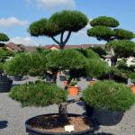 1214 - Borovice černá pravá - Pinus nigra nigra