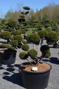 1215 - Tis japonský - Taxus cuspidata 'Farmen'