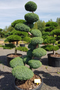 1216 - Jalovec čínský - Juniperus chinensis 'Blue Alps'