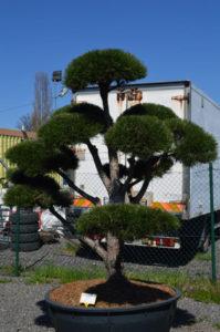 1217 - Borovice černá pravá - Pinus nigra nigra