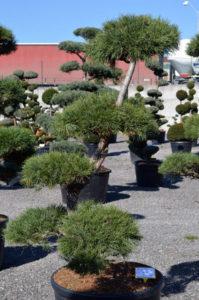 1219 - Borovice lesní - Pinus sylvestris