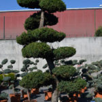 1220 - Jalovec čínský - Juniperus chinensis 'Monarch'