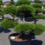 1221 - Borovice černá pravá - Pinus nigra nigra