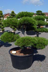 1221   Borovice černá pravá - Pinus nigra nigra