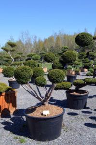 1223 - Tis japonský - Taxus cuspidata 'Farmen'