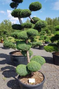 1224 - Jalovec čínský - Juniperus chinensis 'Blue Alps'