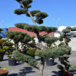 1225 - Borovice drobnokvětá - Pinus parviflora 'Glauca'