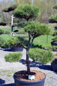 1226 - Borovice lesní - Pinus sylvestris