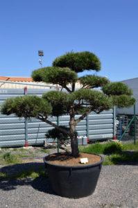 1227 - Borovice černá pravá - Pinus nigra nigra