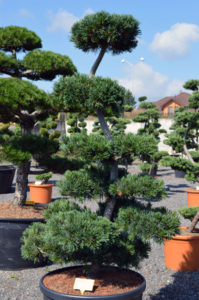 1230 - Borovice drobnokvětá - Pinus parviflora 'Glauca'
