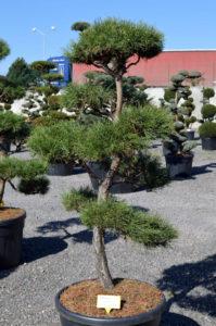 1231 - Borovice lesní - Pinus sylvestris