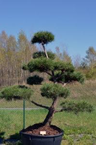 1232 - Borovice černá pravá - Pinus nigra nigra