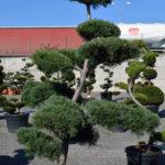1234 - Borovice drobnokvětá - Pinus parviflora 'Tempelhof'
