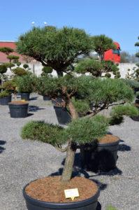 1235 - Borovice lesní - Pinus sylvestris