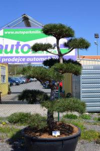 1236 - Borovice černá pravá - Pinus nigra nigra