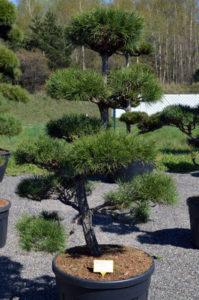 1238 - Borovice lesní - Pinus sylvestris