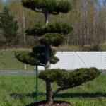 1239 - Borovice Heldreichova - Pinus heldreichii