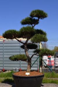 1240 - Borovice černá pravá - Pinus nigra nigra