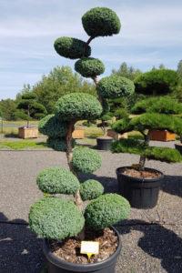 1241 - Jalovec čínský - Juniperus chinensis 'Blue Alps'