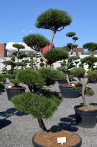1242 - Borovice lesní - Pinus sylvestris