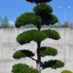 1243 - Borovice černá pravá - Pinus nigra nigra