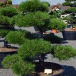 1245 - Borovice černá pravá - Pinus nigra nigra
