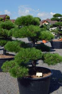 1245   Borovice černá pravá - Pinus nigra nigra
