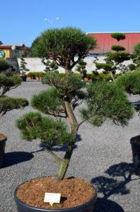 1247 - Borovice lesní - Pinus sylvestris
