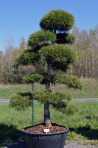 1248 - Borovice černá pravá - Pinus nigra nigra