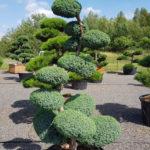 1250 - Jalovec čínský - Juniperus chinensis 'Blue Alps'