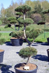 1257 - Borovice lesní - Pinus sylvestris