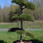 1258 - Borovice černá pravá - Pinus nigra nigra