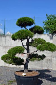 1262 - Borovice černá pravá - Pinus nigra nigra