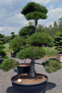 1269 - Borovice černá pravá - Pinus nigra nigra