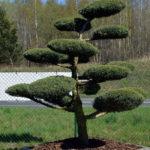 1279 - Jalovec prostřední - Juniperus media 'Hetzii'