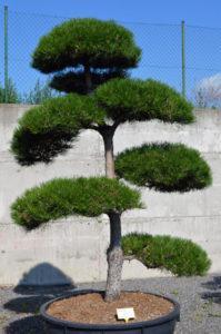 1283 - Borovice černá pravá - Pinus nigra nigra