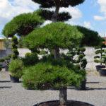 1286 - Borovice černá pravá - Pinus nigra nigra