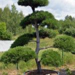 1288 - Borovice černá pravá - Pinus nigra nigra