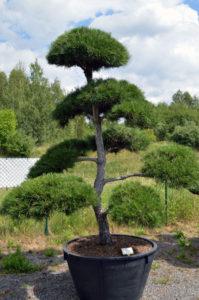 1288   Borovice černá pravá - Pinus nigra nigra