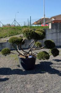 1294 - Borovice kleč - Pinus mugo mughus