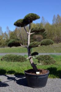 1296 - Borovice černá pravá - Pinus nigra nigra