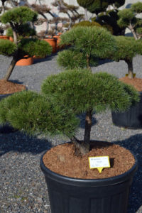 1363 - Borovice lesní - Pinus sylvestris