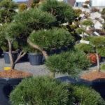 1364 - Borovice lesní - Pinus sylvestris
