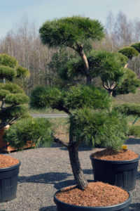1365 - Borovice lesní - Pinus sylvestris