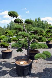 1366 - Borovice lesní - Pinus sylvestris
