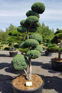 1367 - Jalovec čínský - Juniperus chinensis 'Blue Alps'