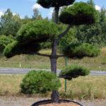 1368 - Borovice černá pravá - Pinus nigra nigra