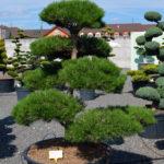 1369 - Borovice černá pravá - Pinus nigra nigra
