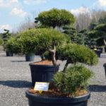 1371 - Borovice lesní - Pinus sylvestris