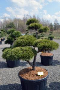 1372 - Borovice lesní - Pinus sylvestris